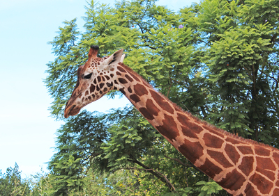 animals, monarto zoo, adelaide zoo, adelaide animals, giraffe