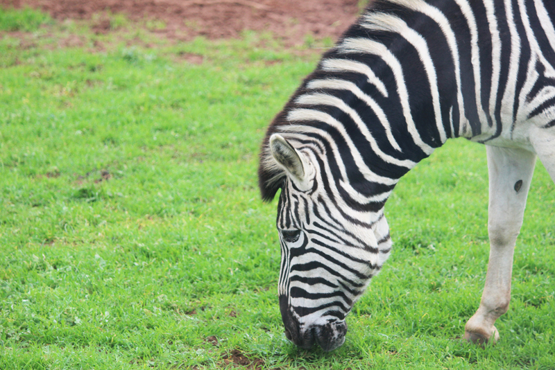 monarto zoo, south australian zoos, animals  - This Month's Top Adelaide Events for Kids